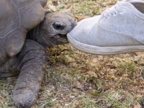Die Hausschildkröte der Spanish School Arequipa